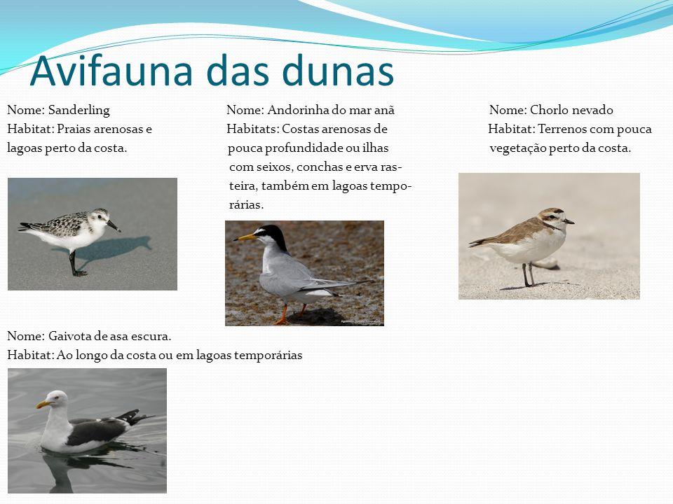 Avifauna das dunas Nome: Sanderling Nome: Andorinha do mar anã Nome: Chorlo nevado Habitat: Praias arenosas e Habitats: Costas arenosas de Habitat: Te