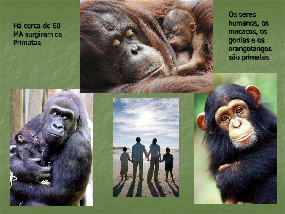 Características dos Primatas Dois olhos dispostos lado a lado; cérebro desenvolvido, capacidade de ficar de pé; presença de cinco dedos nas mãos e pés; narinas para a frente; duas mamas no peito.