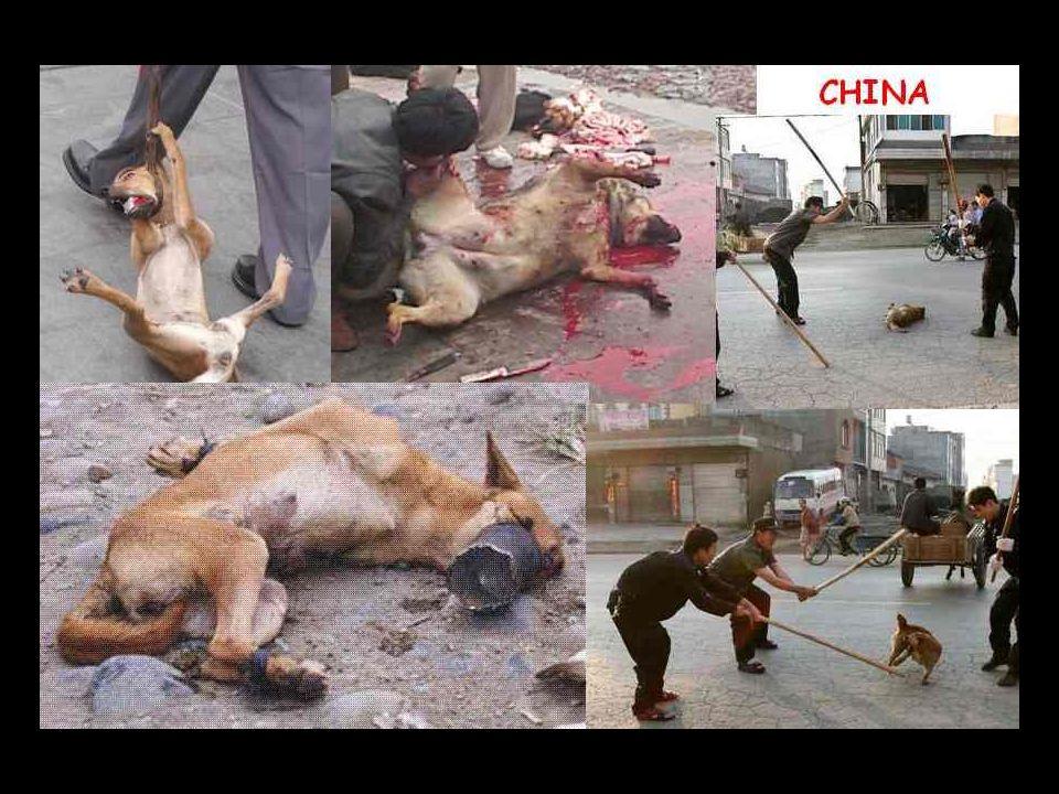 Extermínio e tortura de cães com a desculpa de acabar com a 'raiva. Doença erradicada a anos, chineses roubavam cachorros de famílias que se negavam a