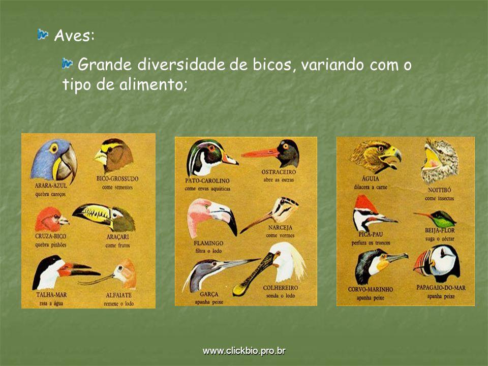 www.clickbio.pro.br Aves: Grande diversidade de bicos, variando com o tipo de alimento;
