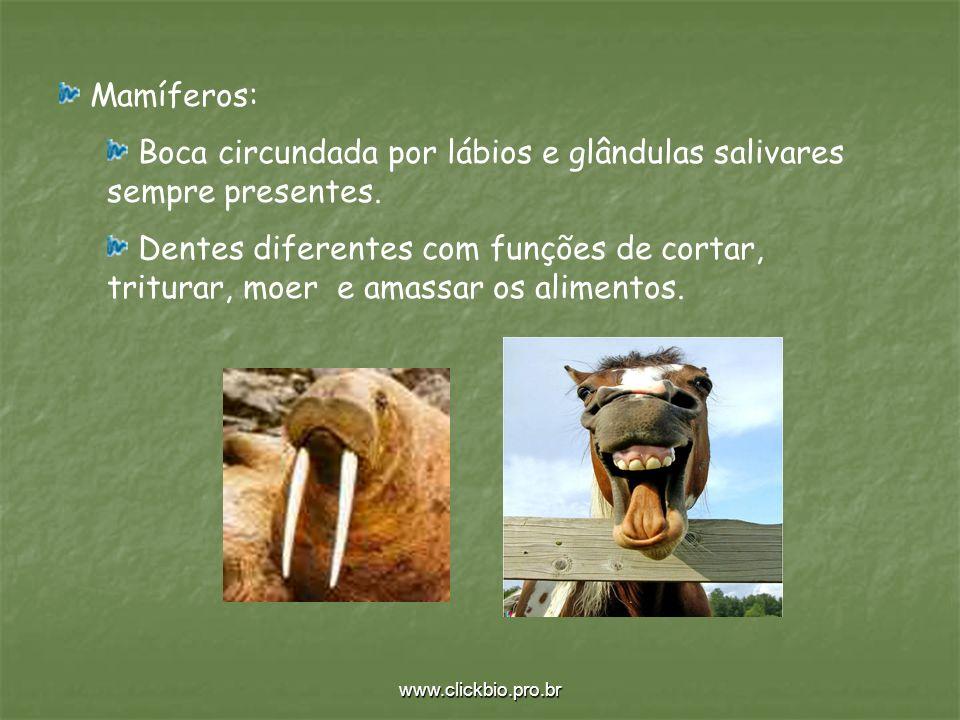 www.clickbio.pro.br Mamíferos: Boca circundada por lábios e glândulas salivares sempre presentes. Dentes diferentes com funções de cortar, triturar, m