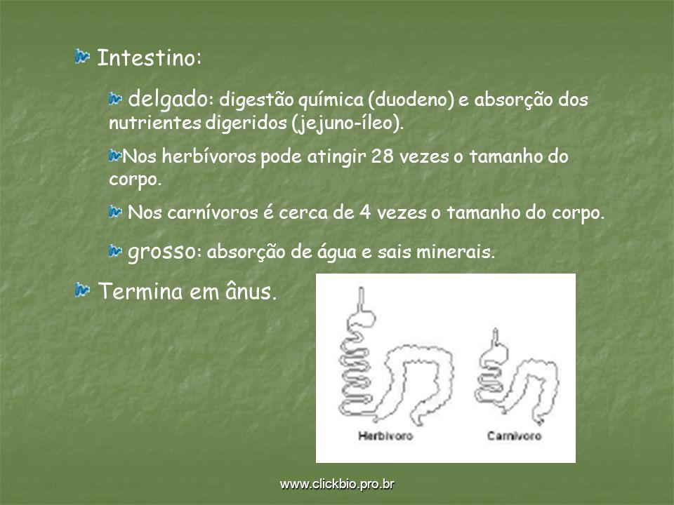 www.clickbio.pro.br Intestino: delgado : digestão química (duodeno) e absorção dos nutrientes digeridos (jejuno-íleo). Nos herbívoros pode atingir 28
