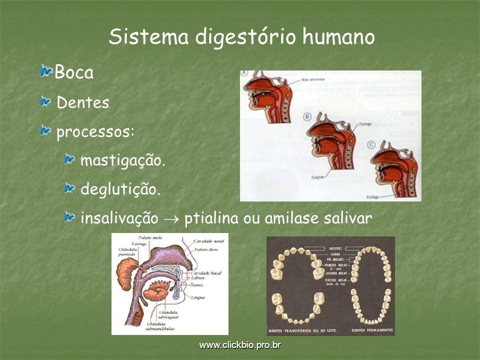 www.clickbio.pro.br Sistema digestório humano Boca Dentes processos: mastigação. deglutição. insalivação ptialina ou amilase salivar