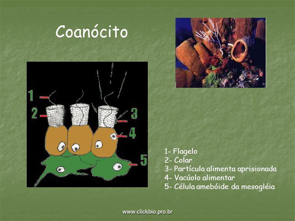 www.clickbio.pro.br 1- Flagelo 2- Colar 3- Partícula alimenta aprisionada 4- Vacúolo alimentar 5- Célula amebóide da mesogléia Coanócito