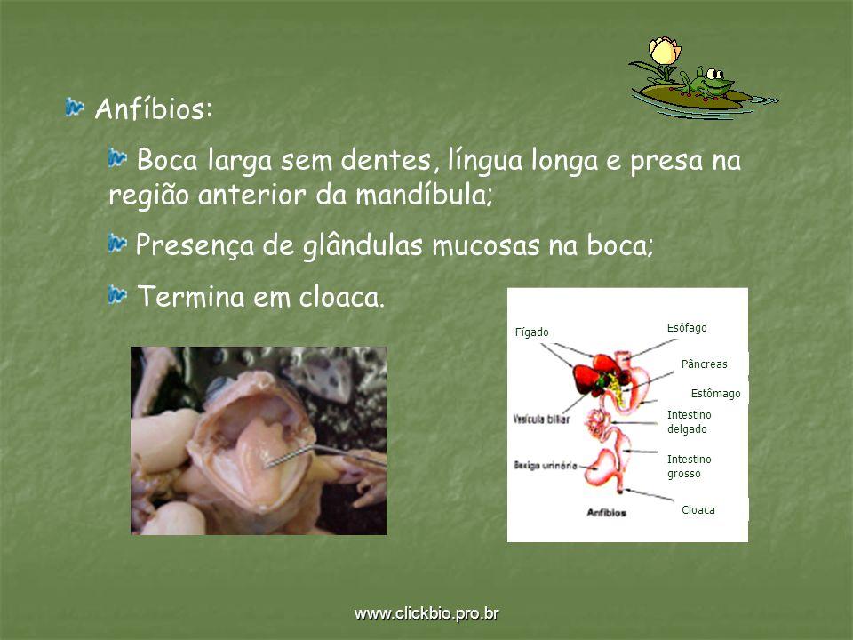 www.clickbio.pro.br Anfíbios: Boca larga sem dentes, língua longa e presa na região anterior da mandíbula; Presença de glândulas mucosas na boca; Term