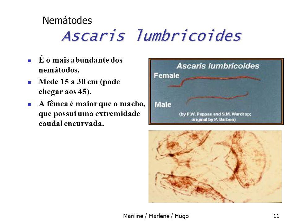 Mariline / Marlene / Hugo11 Ascaris lumbricoides É o mais abundante dos nemátodos. Mede 15 a 30 cm (pode chegar aos 45). A fêmea é maior que o macho,