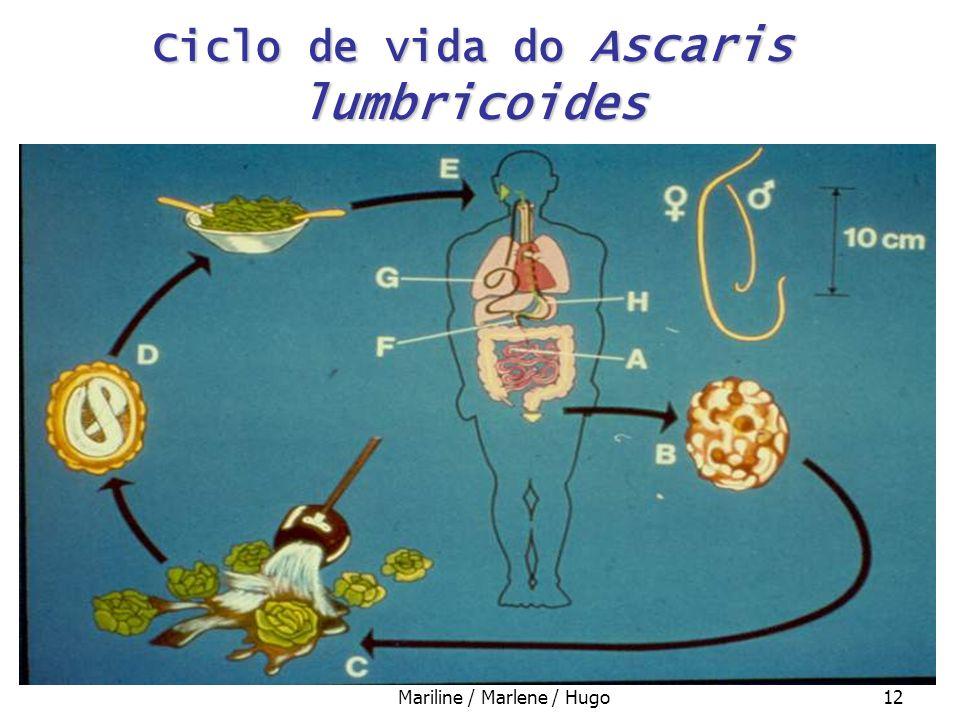 Mariline / Marlene / Hugo12 Ciclo de vida do Ascaris lumbricoides