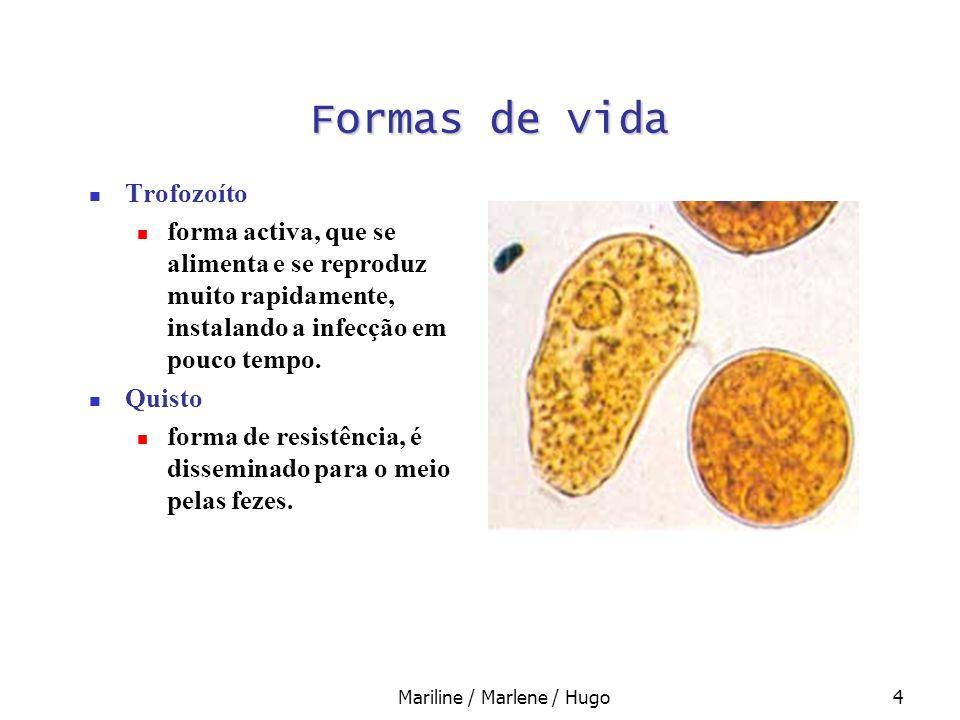Mariline / Marlene / Hugo4 Formas de vida Trofozoíto forma activa, que se alimenta e se reproduz muito rapidamente, instalando a infecção em pouco tem