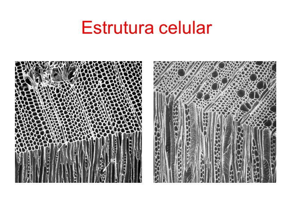 Laboratório de anatomia no ISA/DEF Todas as espécies de R das regiões temperadas excepto o Taxodium disticum e a Sequoia sempervirens, Cedrus.