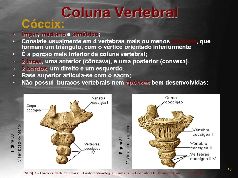 ESESJD - Universidade de Évora; Anatomofisiologia Humana I - Docente: Dr. Manuel Bento 15.º CLE 14 Coluna Vertebral Cóccix: ÍmparmedianosimétricoÍmpar