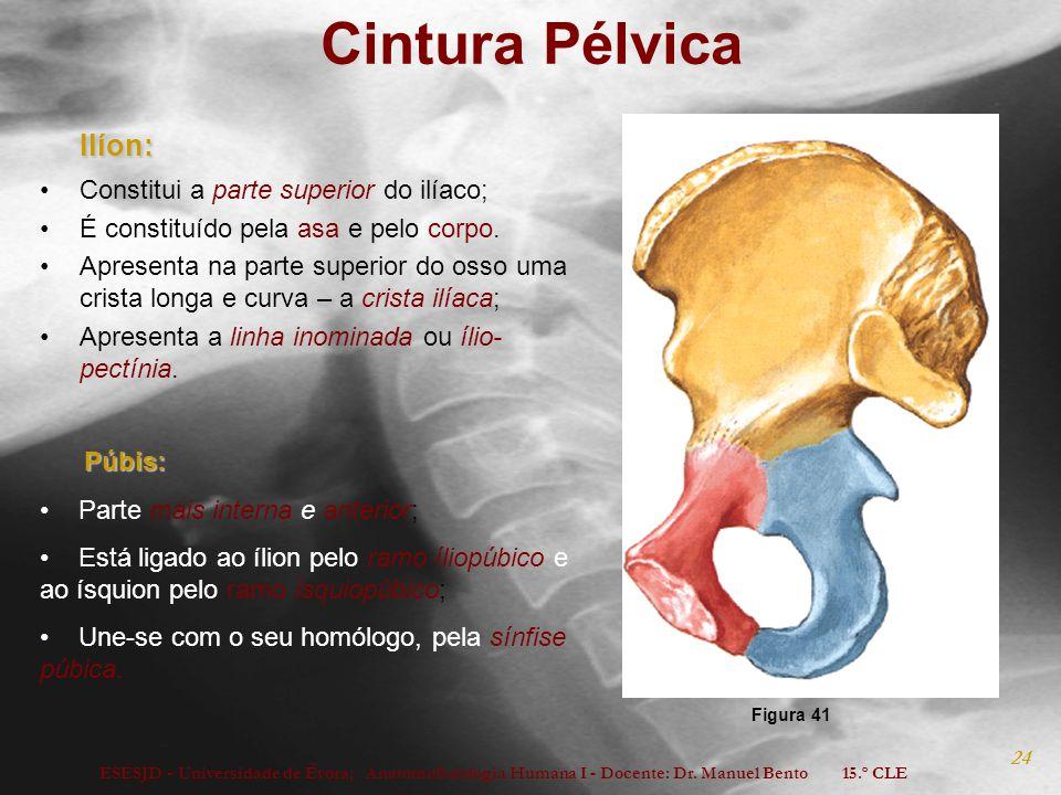 ESESJD - Universidade de Évora; Anatomofisiologia Humana I - Docente: Dr. Manuel Bento 15.º CLE 24 Cintura Pélvica Ilíon: Ilíon: Constitui a parte sup