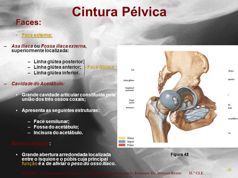 ESESJD - Universidade de Évora; Anatomofisiologia Humana I - Docente: Dr. Manuel Bento 15.º CLE 26 Cintura Pélvica Faces: ´ Face externa:Face externa: