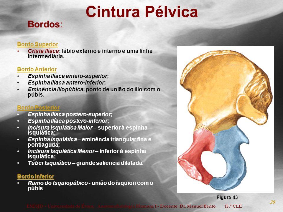 ESESJD - Universidade de Évora; Anatomofisiologia Humana I - Docente: Dr. Manuel Bento 15.º CLE 28 Cintura Pélvica Bordos: Bordo Superior Crista Ilíac