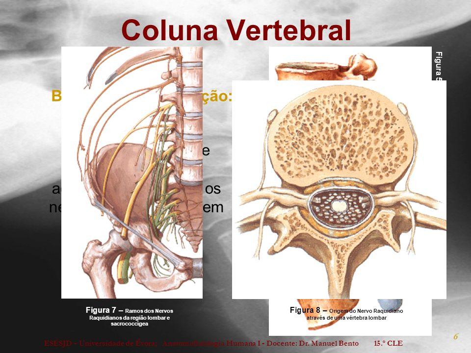 ESESJD - Universidade de Évora; Anatomofisiologia Humana I - Docente: Dr. Manuel Bento 15.º CLE 6 Coluna Vertebral Abertura lateral entre duas vértebr
