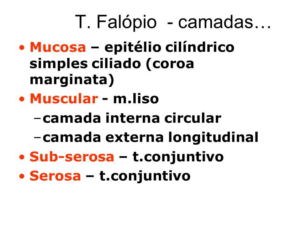 T. Falópio - camadas… Mucosa – epitélio cilíndrico simples ciliado (coroa marginata) Muscular - m.liso –camada interna circular –camada externa longit