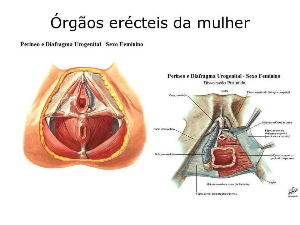 Órgãos erécteis da mulher