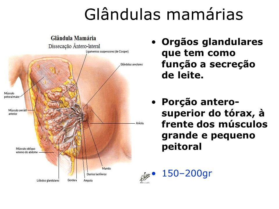 Glândulas mamárias Orgãos glandulares que tem como função a secreção de leite. Porção antero- superior do tórax, à frente dos músculos grande e pequen