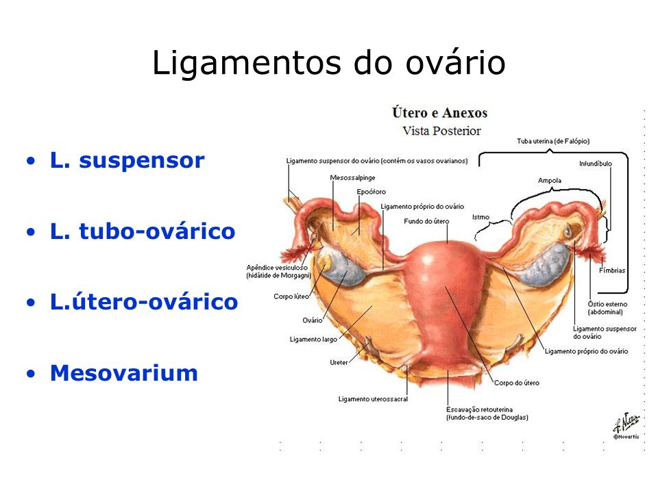 MUCOSA –Endométrio –Epitélio cilíndrico simples + t.conjuntivo Artérias rectas Artérias espiraladas MUSCULAR –Miométrio SEROSA –Peritoneu