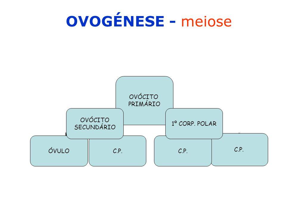 OVOGÉNESE - meiose OVÓCITO PRIMÁRIO ÓVULOC.P. OVÓCITO SECUNDÁRIO 1º CORP. POLAR