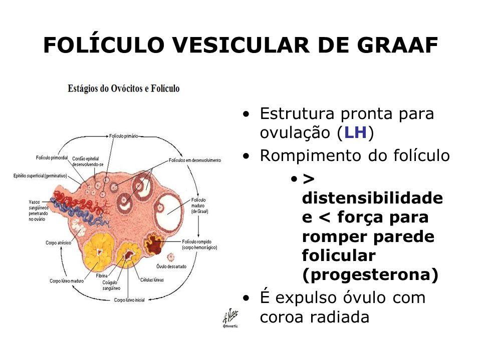 FOLÍCULO VESICULAR DE GRAAF Estrutura pronta para ovulação (LH) Rompimento do folículo > distensibilidade e < força para romper parede folicular (prog