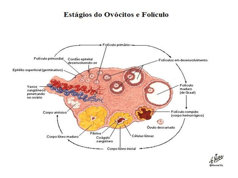 FOLÍCULO VESICULAR DE GRAAF Estrutura pronta para ovulação (LH) Rompimento do folículo > distensibilidade e < força para romper parede folicular (progesterona) É expulso óvulo com coroa radiada