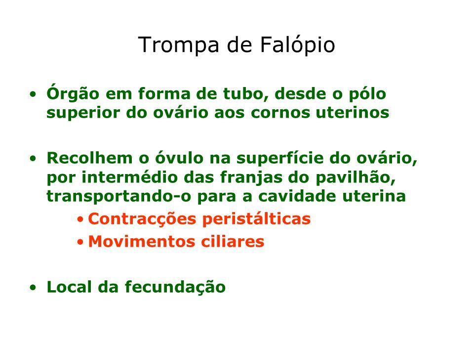 Trompa de Falópio Órgão em forma de tubo, desde o pólo superior do ovário aos cornos uterinos Recolhem o óvulo na superfície do ovário, por intermédio