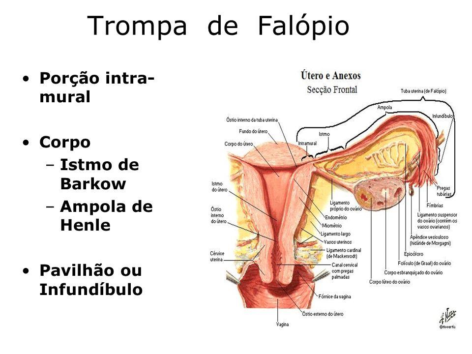 Trompa de Falópio Porção intra- mural Corpo –Istmo de Barkow –Ampola de Henle Pavilhão ou Infundíbulo