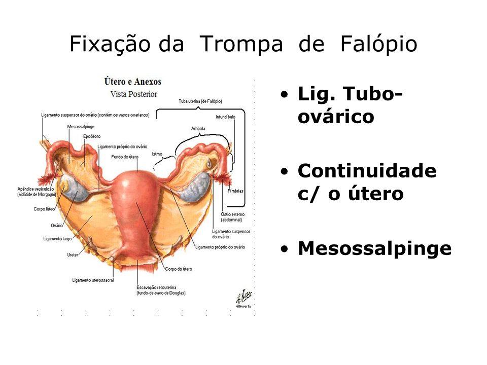Ciclo menstrual Fase menstrual »Regressão do corpo amarelo »Baixa de estrogéneos e progesterona »Apenas a camada basal do endométrio fica intacta Fase proliferativa »Subida estrogéneos »Espessamento endométrio »Crescimento glandular »Crescimento artérias espiraladas »Aumento progesterona (subida temperatura corporal) »Aumento LH
