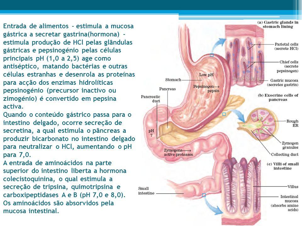 Entrada de alimentos - estimula a mucosa gástrica a secretar gastrina(hormona) - estimula produção de HCl pelas glândulas gástricas e pepsinogénio pel