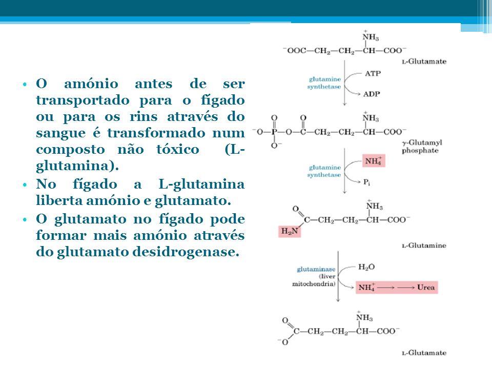O amónio antes de ser transportado para o fígado ou para os rins através do sangue é transformado num composto não tóxico (L- glutamina). No fígado a