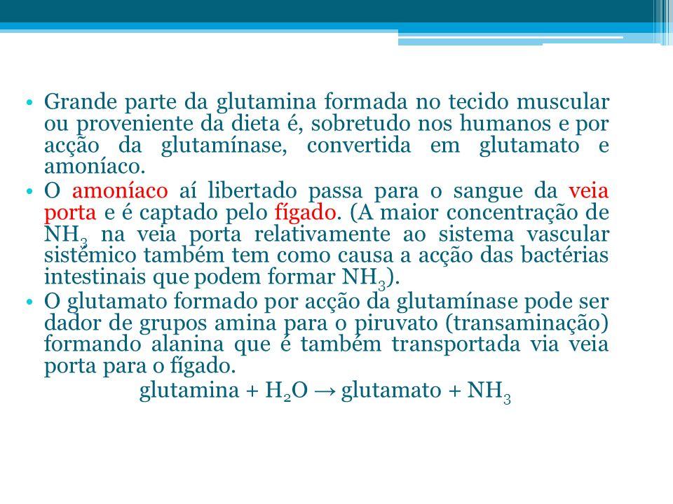 Grande parte da glutamina formada no tecido muscular ou proveniente da dieta é, sobretudo nos humanos e por acção da glutamínase, convertida em glutam