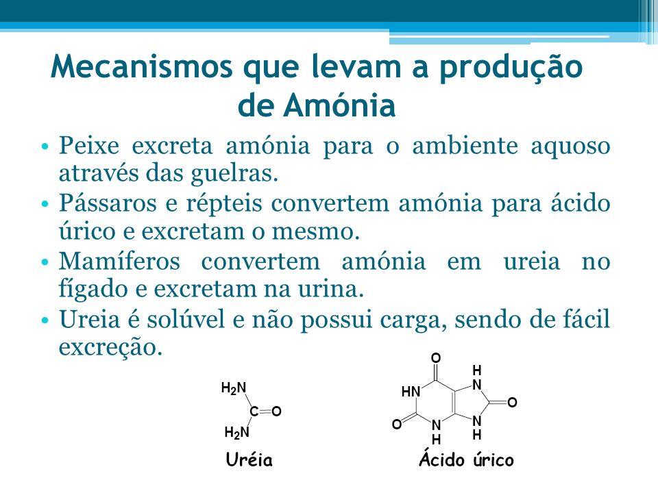 Mecanismos que levam a produção de Amónia Peixe excreta amónia para o ambiente aquoso através das guelras. Pássaros e répteis convertem amónia para ác