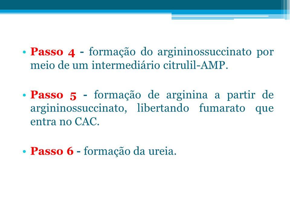 Passo 4 - formação do argininossuccinato por meio de um intermediário citrulil-AMP. Passo 5 - formação de arginina a partir de argininossuccinato, lib