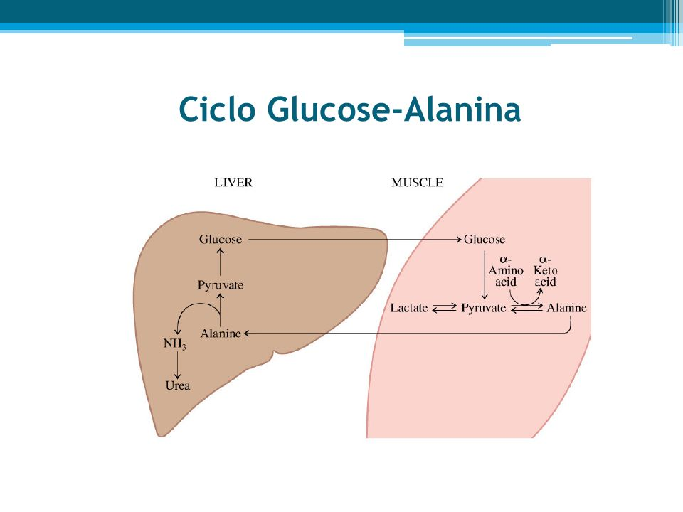 Ciclo Glucose-Alanina