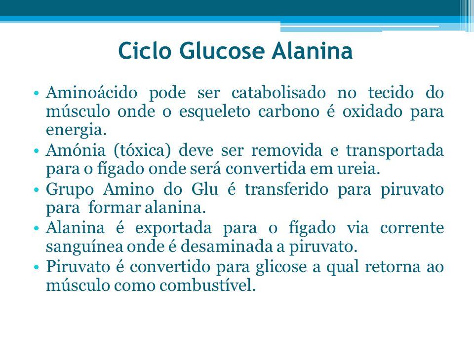 Ciclo Glucose Alanina Aminoácido pode ser catabolisado no tecido do músculo onde o esqueleto carbono é oxidado para energia. Amónia (tóxica) deve ser