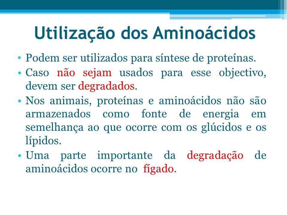 Utilização dos Aminoácidos Podem ser utilizados para síntese de proteínas. Caso não sejam usados para esse objectivo, devem ser degradados. Nos animai