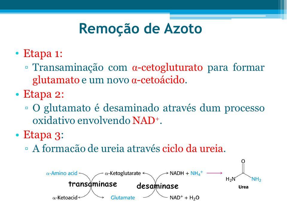 Remoção de Azoto Etapa 1: Transaminação com α -cetogluturato para formar glutamato e um novo α -cetoácido. Etapa 2: O glutamato é desaminado através d