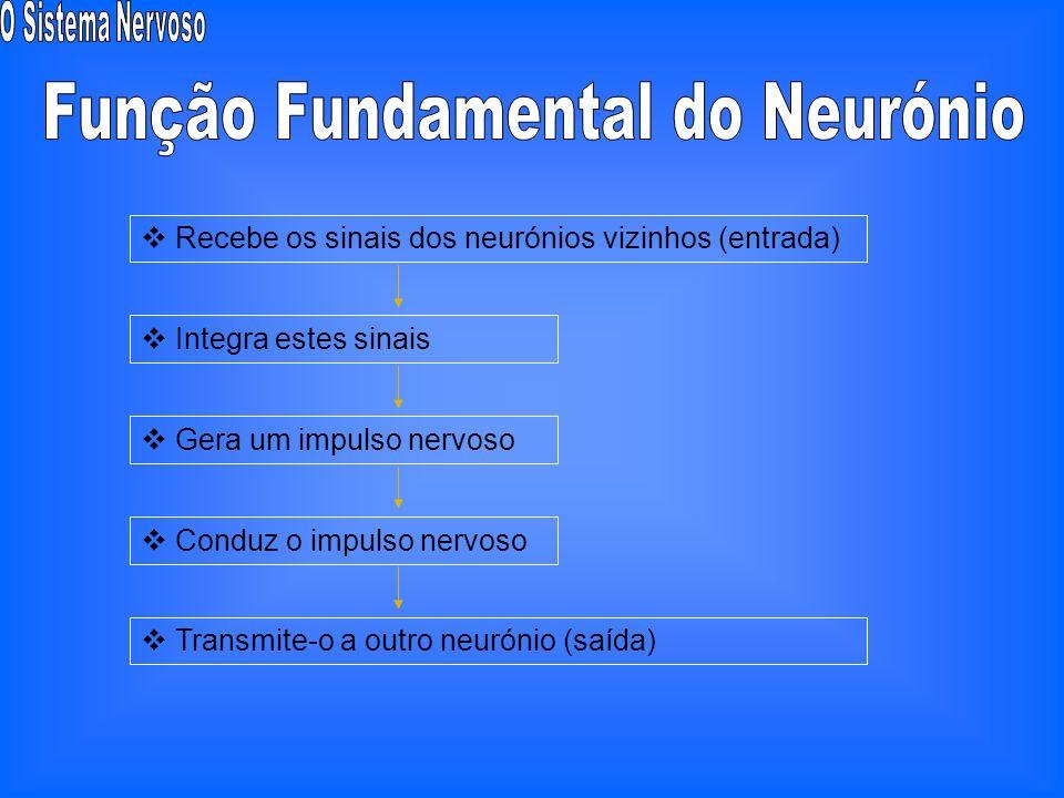 Neurónios aferentes ou sensoriais Neurónios eferentes ou motores Neurónios de conexão