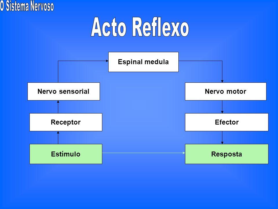 No processo de retroacção estão envolvidos Mecanismos de recepção Órgãos receptores Órgãos dos sentidos Mecanismos de conexão Centro coordenador Siste