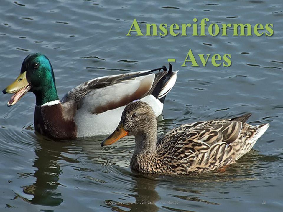 Anseriformes - Aves 29Escola Sec. Maria Lamas, Torres Novas