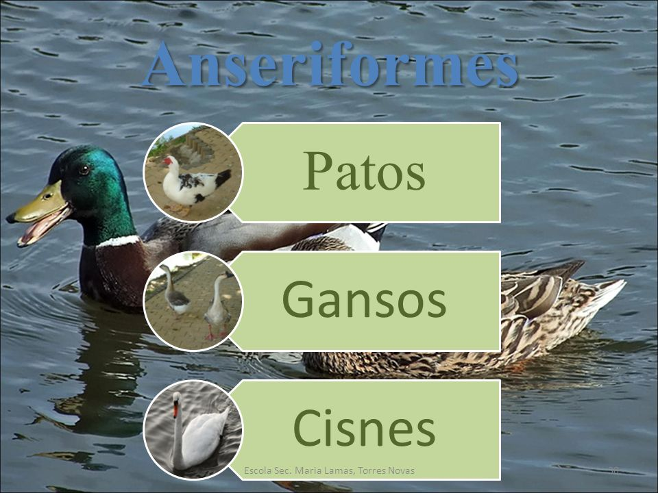 Anseriformes Patos Gansos Cisnes 30Escola Sec. Maria Lamas, Torres Novas