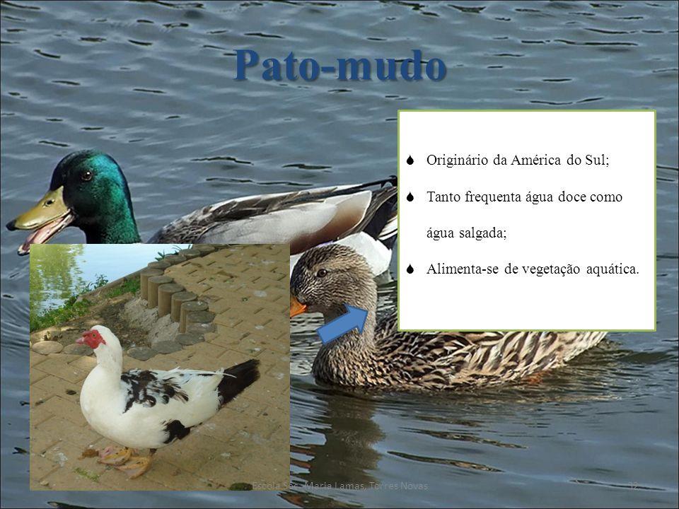 Pato-mudo Originário da América do Sul; Tanto frequenta água doce como água salgada; Alimenta-se de vegetação aquática. 32Escola Sec. Maria Lamas, Tor