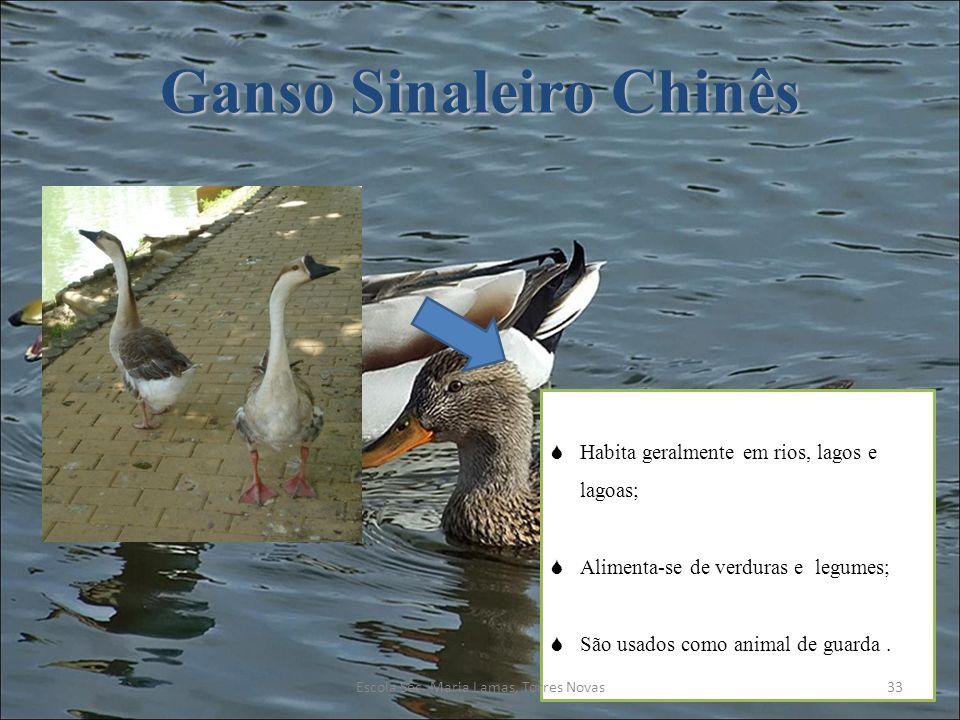 Ganso Sinaleiro Chinês Habita geralmente em rios, lagos e lagoas; Alimenta-se de verduras e legumes; São usados como animal de guarda. 33Escola Sec. M