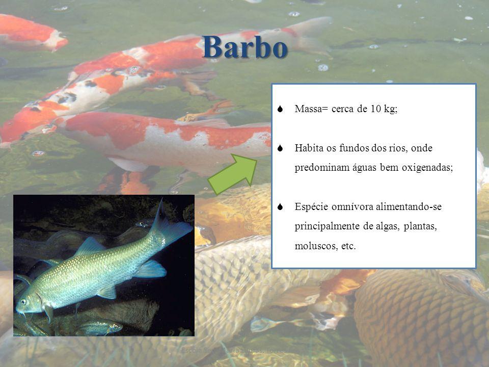 Barbo Massa= cerca de 10 kg; Habita os fundos dos rios, onde predominam águas bem oxigenadas; Espécie omnívora alimentando-se principalmente de algas,