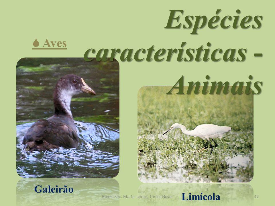 Galeirão Limícola Espécies características - Animais Aves 47Escola Sec. Maria Lamas, Torres Novas