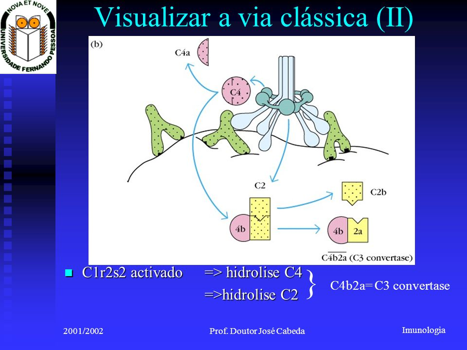 Imunologia 2001/2002Prof. Doutor José Cabeda Visualizar a via clássica (II) C1r2s2 activado => hidrolise C4 C1r2s2 activado => hidrolise C4 =>hidrolis