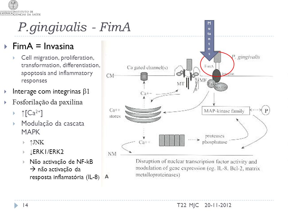 P.gingivalis - FimA FimA = Invasina Cell migration, proliferation, transformation, differentiation, apoptosis and inflammatory responses Interage com