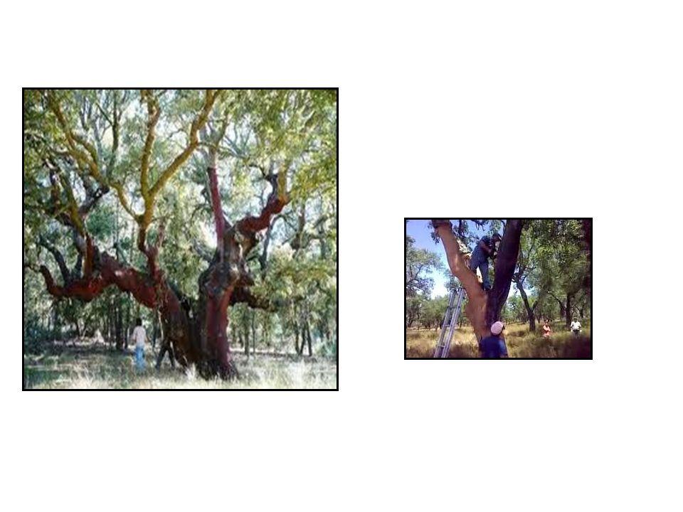 O sobreiro (Quercus Suber) É uma árvore protegida e de grande importância económica; A casca do sobreiro é a cortiça; A cortiça é tirada de 9 em 9 anos e possui qualidades únicas.
