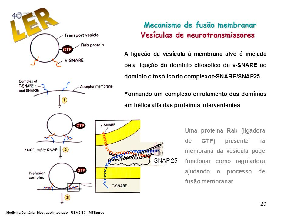 DEPARTAMENTO DE CIÊNCIAS DA SAÚDE Medicina Dentária - Mestrado Integrado – UBA 3 BC - MTBarros 20 Mecanismo de fusão membranar Mecanismo de fusão memb