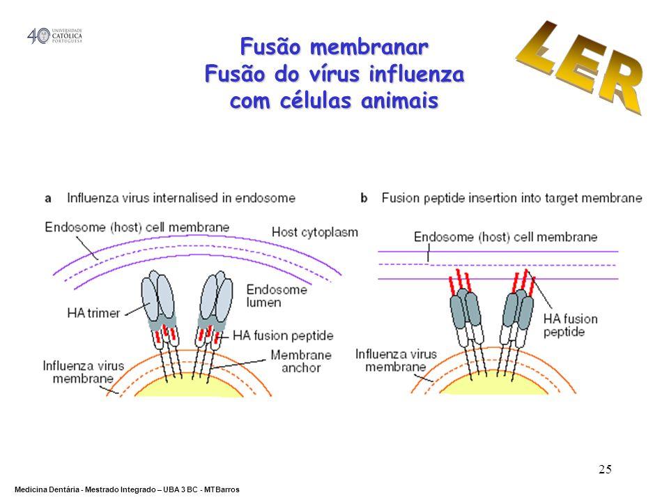 DEPARTAMENTO DE CIÊNCIAS DA SAÚDE Medicina Dentária - Mestrado Integrado – UBA 3 BC - MTBarros 25 Fusão membranar Fusão do vírus influenza com células
